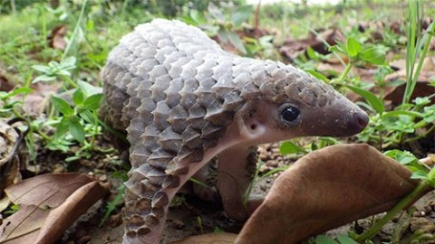 OMG Pangolin's are so cute!