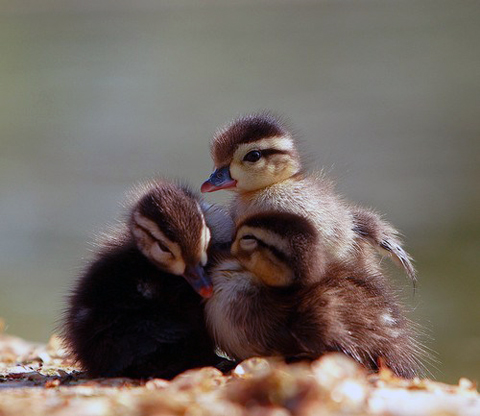 Fluffy Duckies via Daily Squee