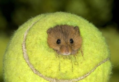 Tiny Teeny Tennis Mouse via Daily Squee