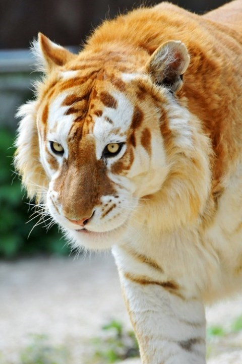 What An Amazing Golden Tiger via Daily Squee