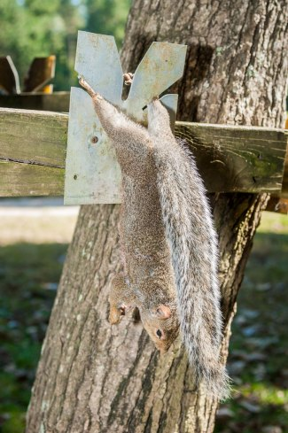 Place legs of squirrel in squirrel skinner, with back facing outward.