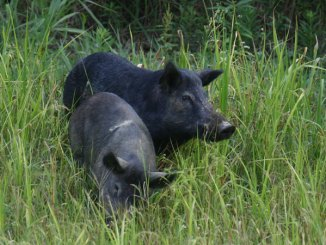 Avoiding several diseases when handling feral hogs requires a few commonsense steps.