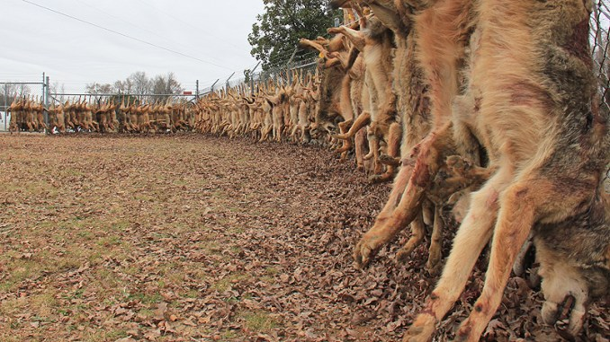 Hunters in the 6th Annual Carolina Coyote Classic killed 149 coyotes this past weekend.