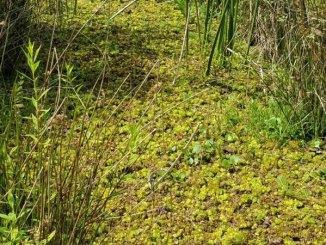 If left along, giant salvinia can take over waterways in a short period of time.
