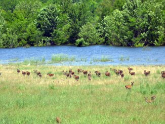 How will deer in the South Delta be affected by this summer's flooding?