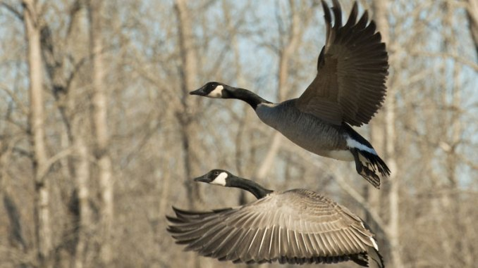 Mississippi hunters can take Canada geese during the early season the entire month of September.