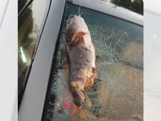 A large bird dropped this catfish, which shattered the windshield of Rhesa Walston's SUV in eastern North Carolina.