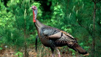 Mississippi's best turkey hunting is ahead