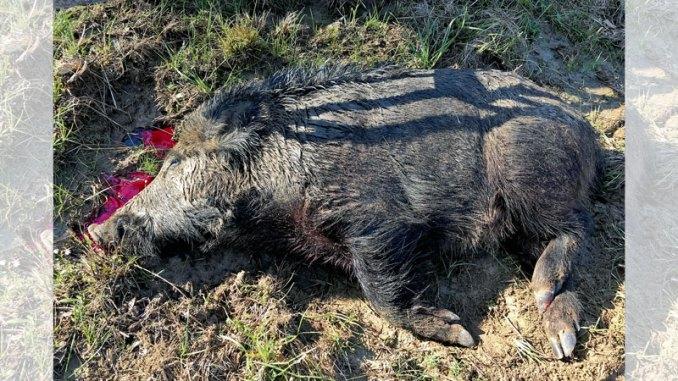Hog Hunting Archives Mississippi Sportsman
