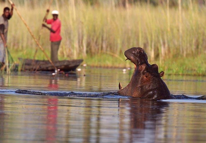 damn hippos