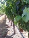 Grapes in Napa