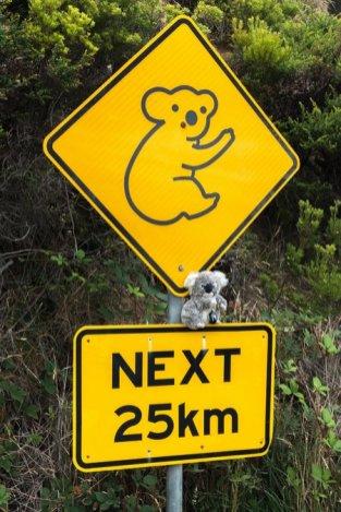 Attention, les koalas sont partout...