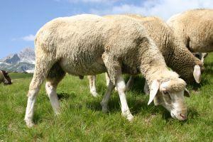 Znaczenie snu owca