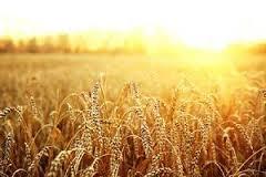 Znaczenie snu pszenica