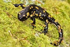 Znaczenie snu salamandra