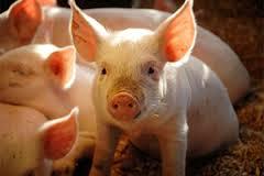 Znaczenie snu świnia