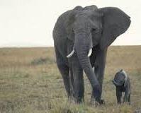 Trąba słonia 19