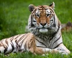 Tygrys 9