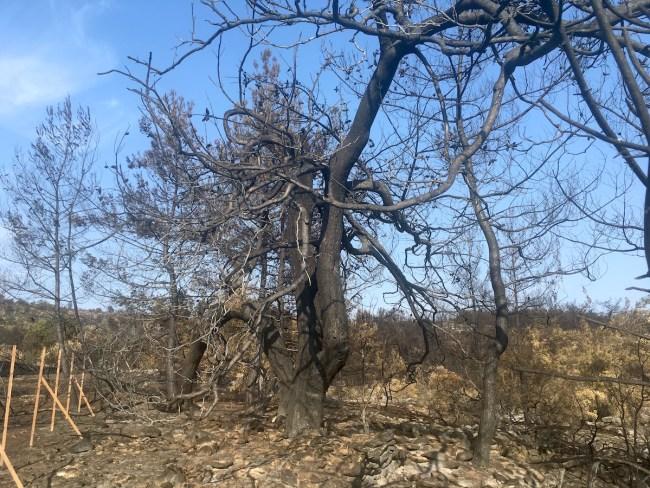 Fotoğrafta anlaşılmıyor fakat bu gördüğünüz devasa bir zeytin ağacı(nın kalıntısı).