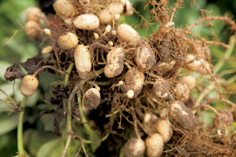 Mississippi Peanut Farmers Are Going Nuts Mississippi Farm Country