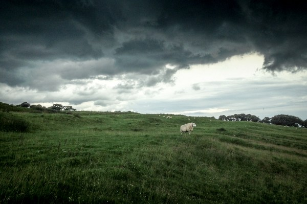 sheep-at-Housesteads
