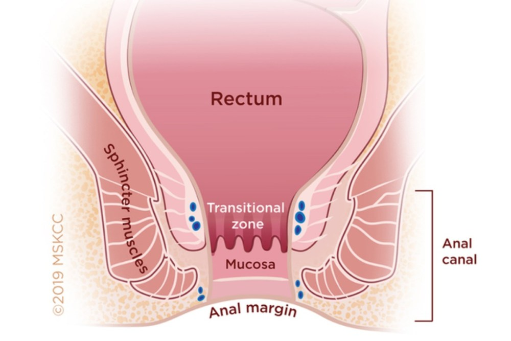 medium resolution of anal canal diagram