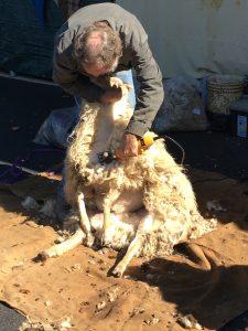 Shearing an Alpaca near the Barn, Fiber in the Boro