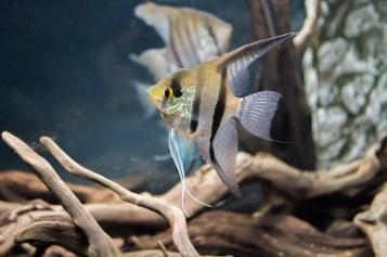 Pesce angelo (foto di Francesca Filippi)
