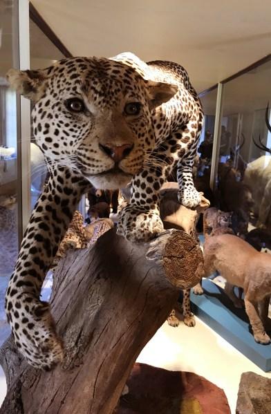 Leopardo (foto Giovanni Cavasinni)