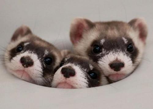 Cuddly Ferrets