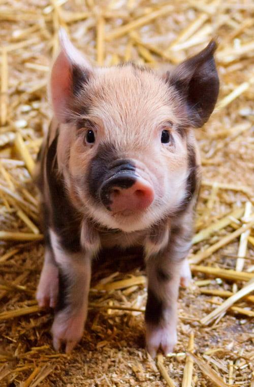 Cuddly Piglet