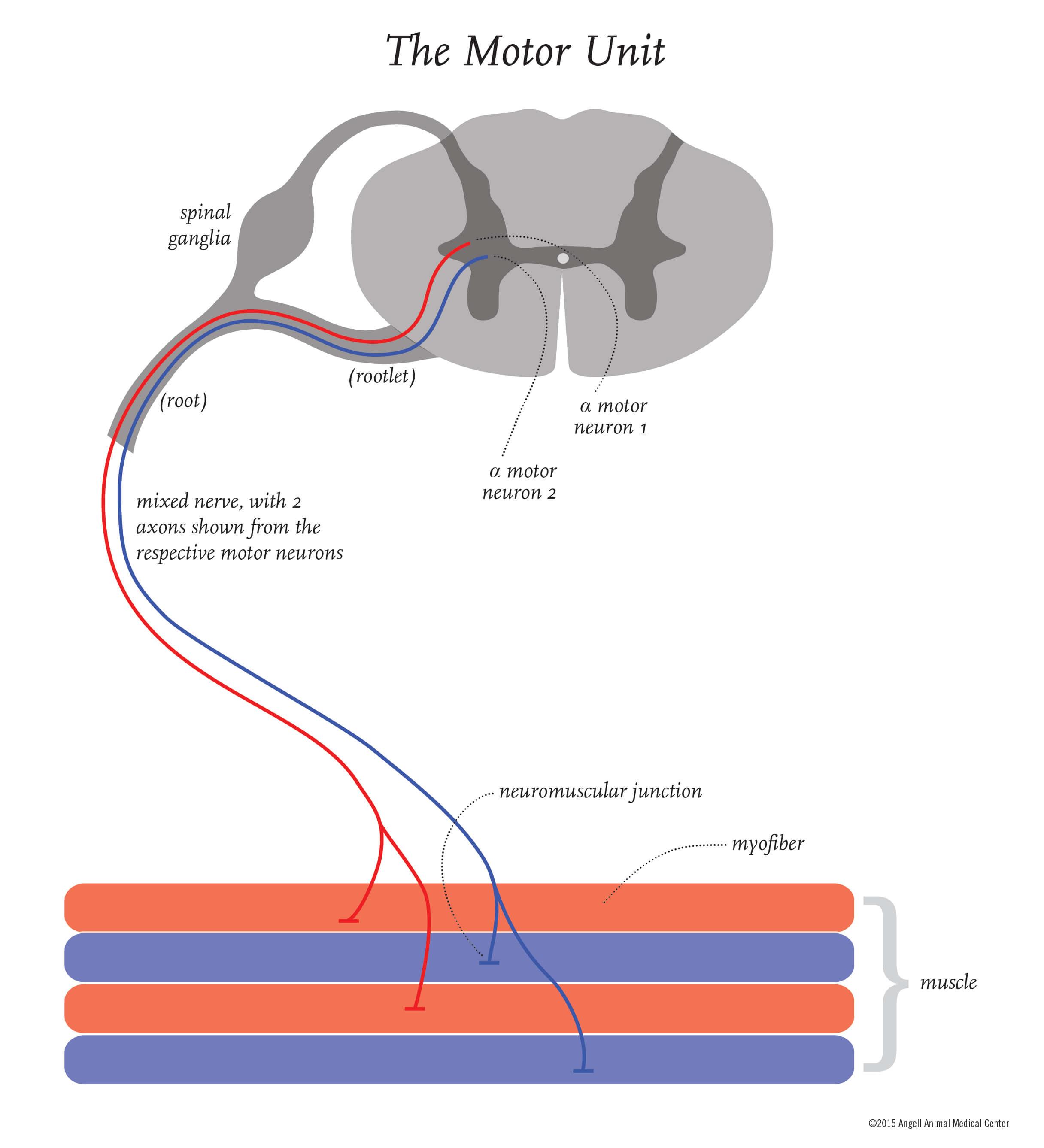 medium resolution of simple motor unit diagram wiring diagram ebookdiagram of motor unit anything wiring diagramdiagram of motor unit