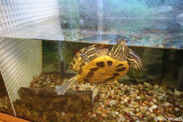 turtle-at-zion-nature-center-zionsville