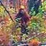 Mid-Maine Sasquatch or Injun Devil. Photo of a squatch in Maine.