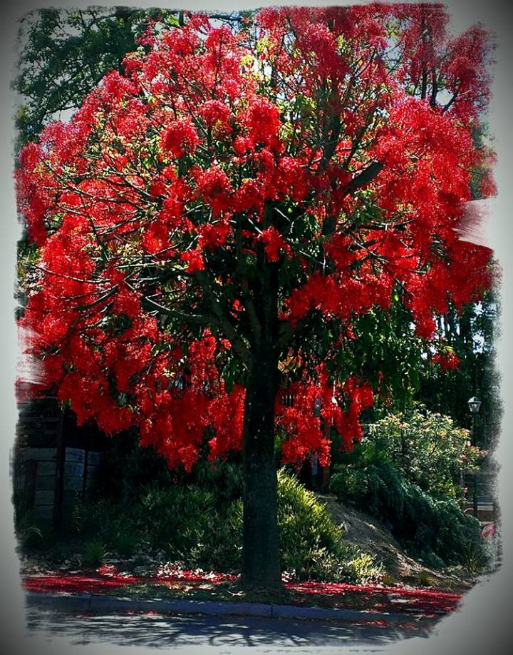 Flame Tree, photo by Clare Mcclelland