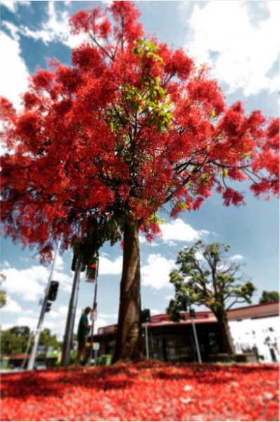 Flame Tree by Greg Carrick