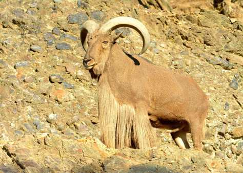 big_male_aoudad_on_rocks.jpg