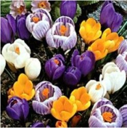 crocus_specie_mixture