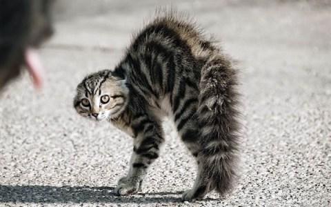 Kızgın Kedi Duruşu