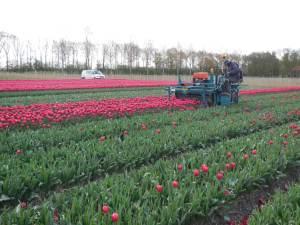 Tulpenkoppen. De bloem wordt verwijdert om alle energie van de plant naar de bol in de grond te sturen.
