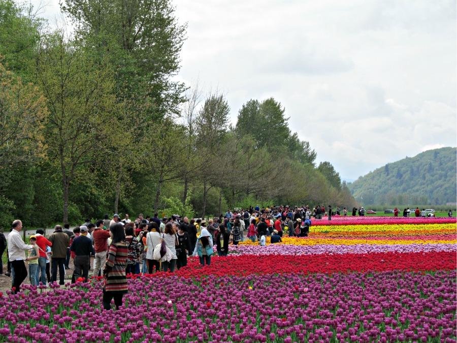 Ванкувер фестиваль тюльпанов