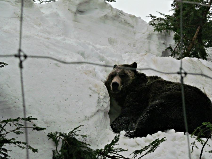 медведи Гризли, Ванкувер