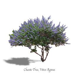Chaste Tree Vitex  MTV Trees