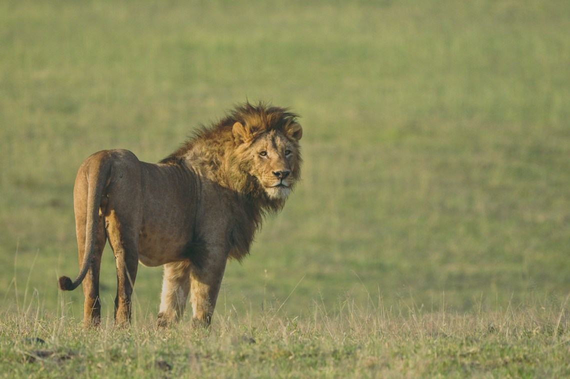 leão ngorongoro