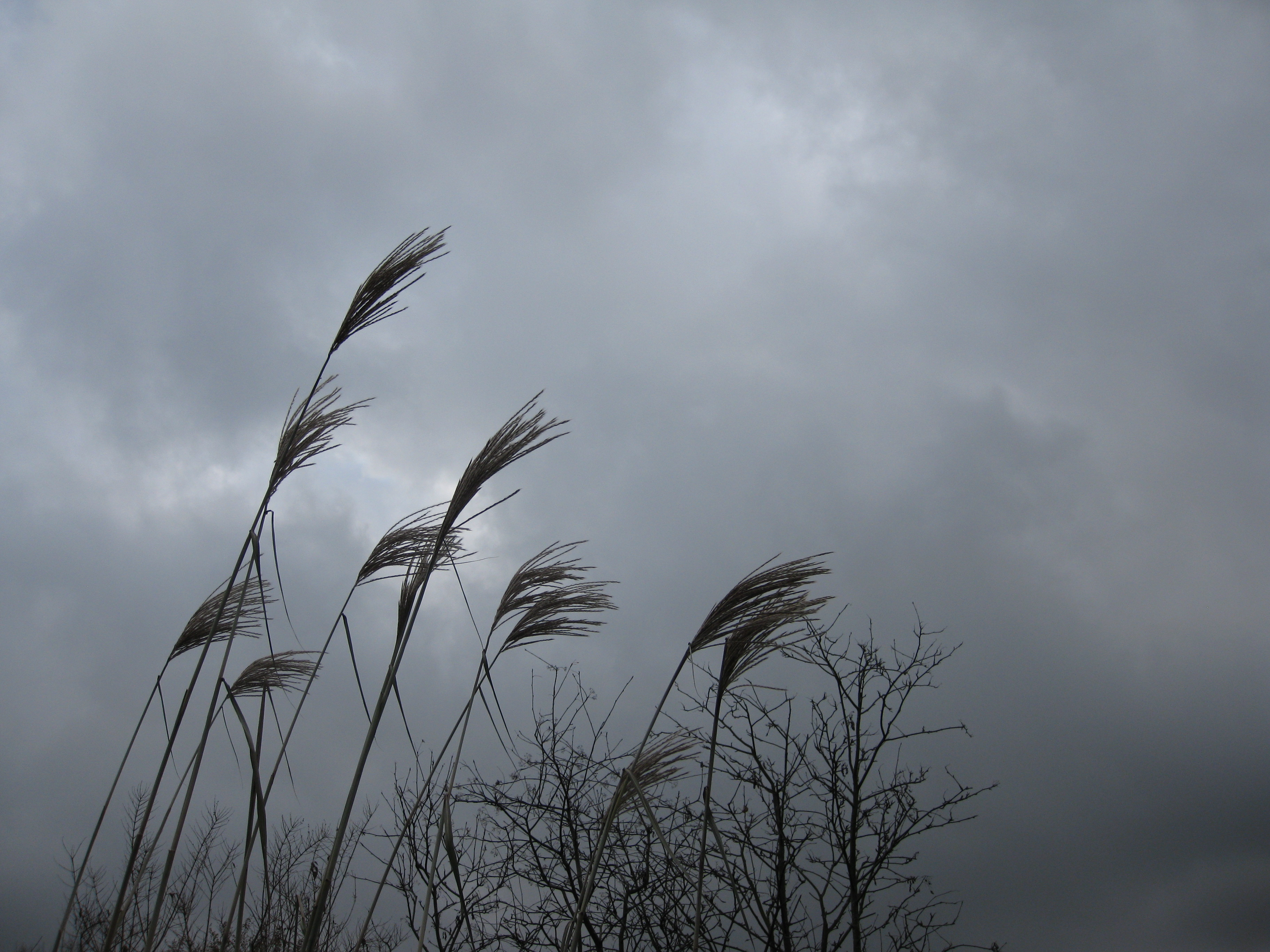 Reeds Against Clouds