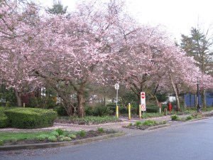 Cherry blossoms in full bloom on a rainy day