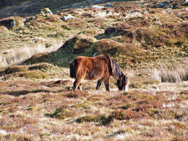 Carneddau Ponies