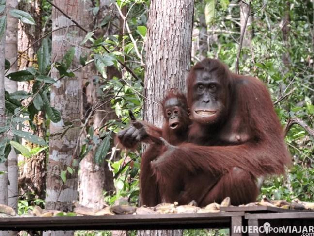 Orangutanes en Borneo, una de las mejores experiencias del viaje a Indonesia