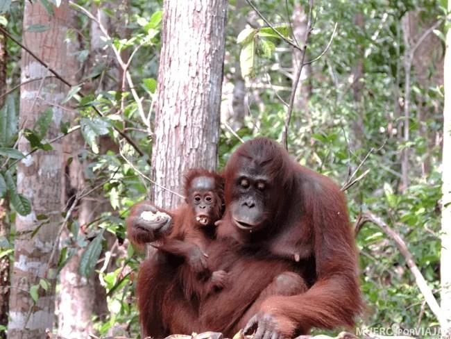 Cuando los orangutanes son bebé siempre van con su madre