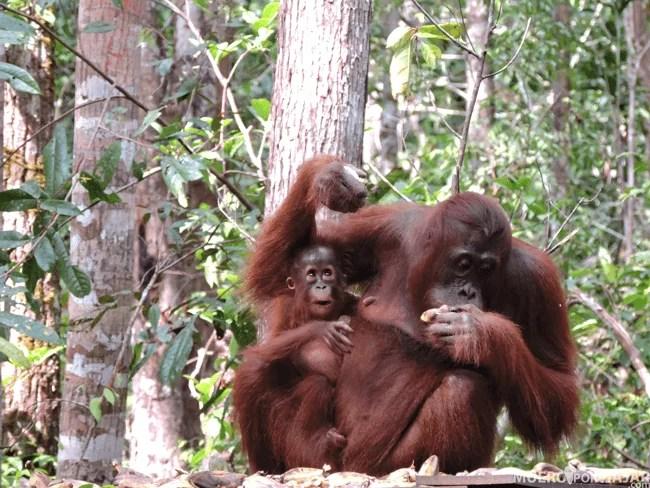 Una família de orangutanes comiendo